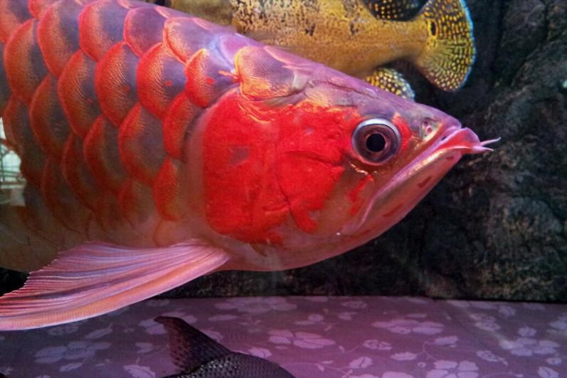 绵阳印尼小红龙  绵阳龙鱼 绵阳水族批发市场第2张
