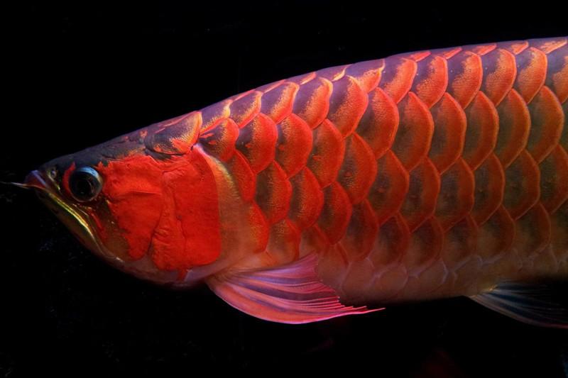 绵阳印尼小红龙  绵阳龙鱼 绵阳水族批发市场第4张
