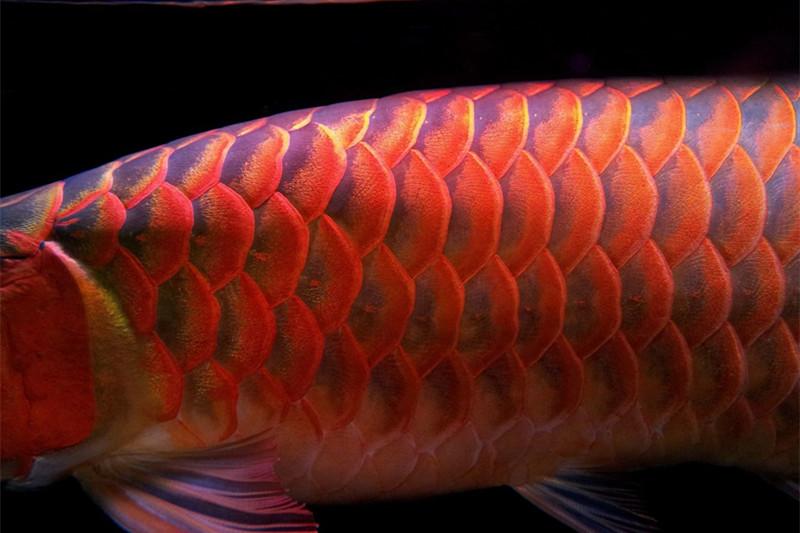 绵阳印尼小红龙  绵阳龙鱼 绵阳水族批发市场第5张