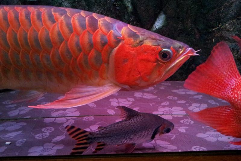 绵阳印尼小红龙  绵阳龙鱼 绵阳水族批发市场第3张