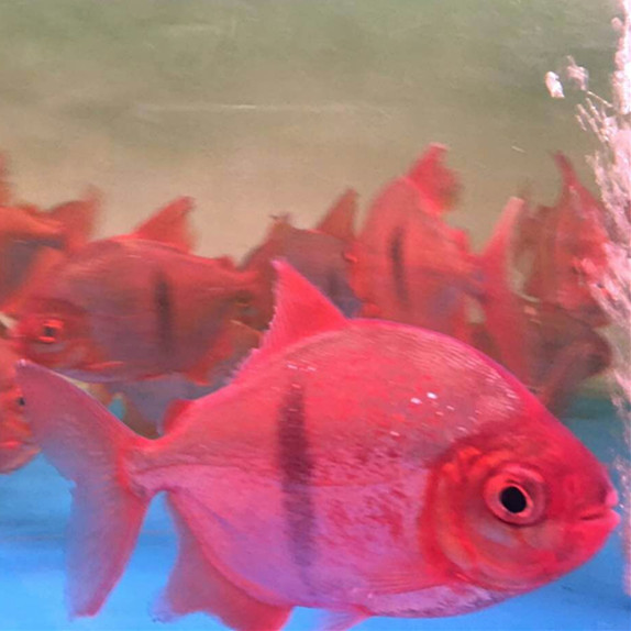 绵阳玫瑰银版鱼 绵阳水族新品 绵阳水族批发市场第3张