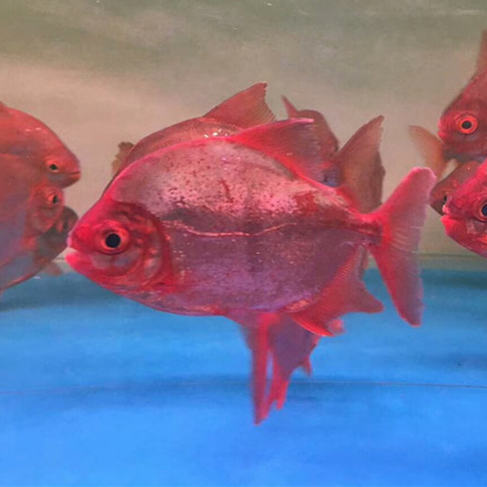 绵阳玫瑰银版鱼 绵阳水族新品 绵阳水族批发市场第1张