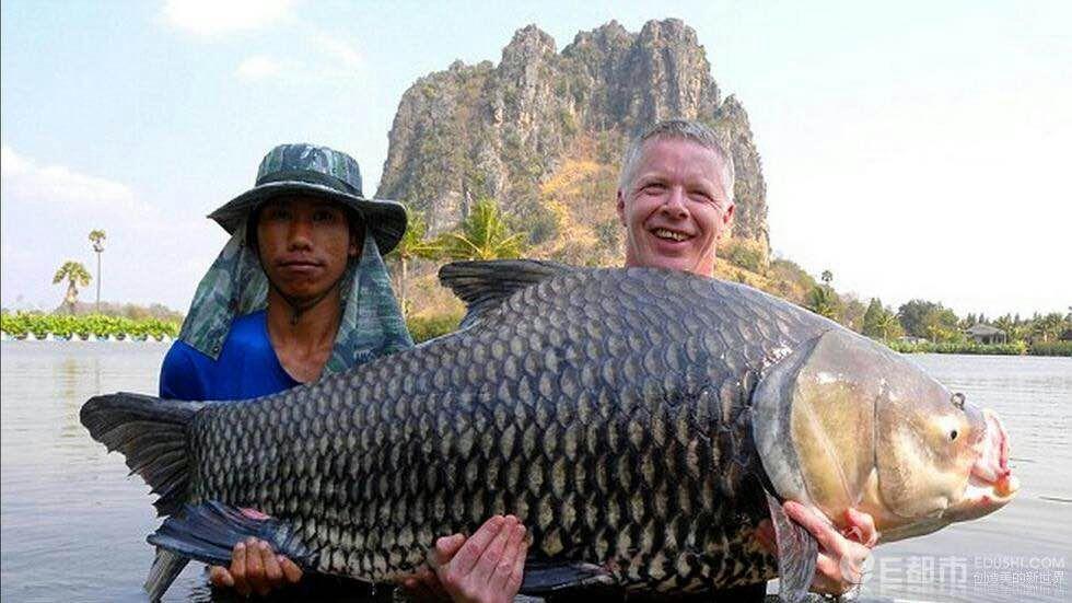 绵阳暹罗巨鲤(国宝级) 混养鱼(绵阳龙鱼配鱼) 绵阳水族批发市场第1张