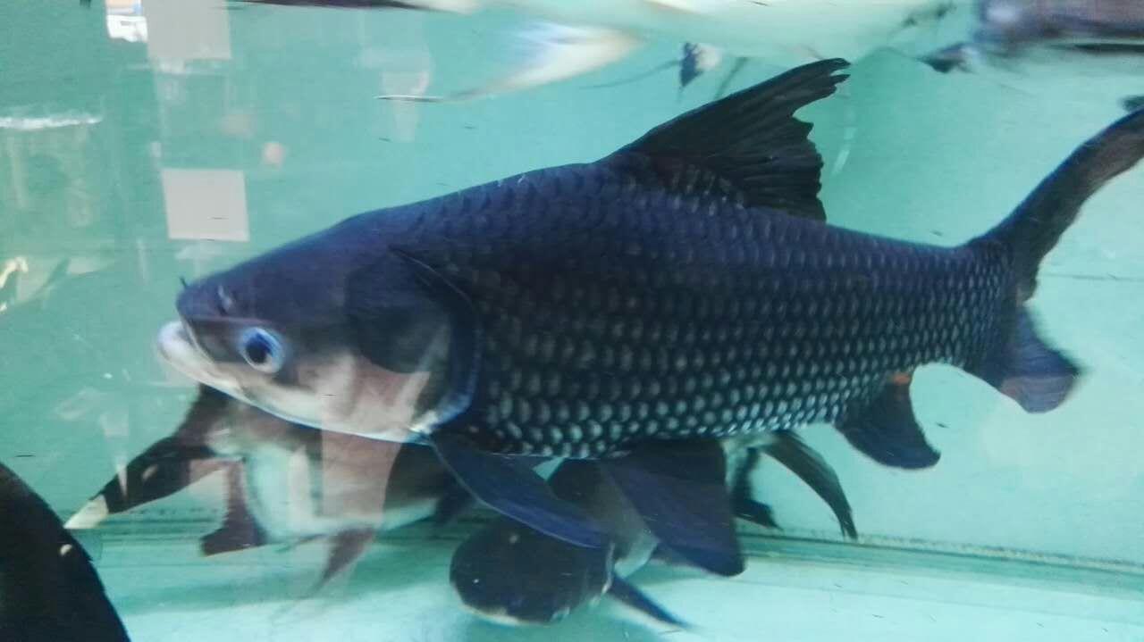 绵阳暹罗巨鲤(国宝级) 混养鱼(绵阳龙鱼配鱼) 绵阳水族批发市场第2张