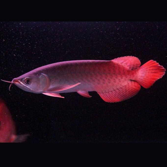 绵阳印尼小红龙  绵阳龙鱼 绵阳水族批发市场第1张