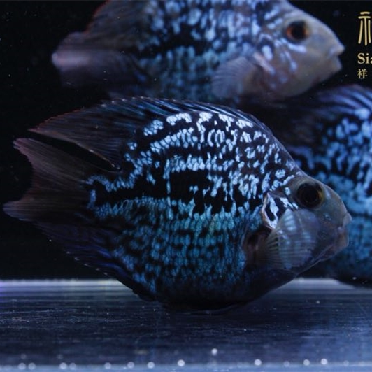 绵阳黑卡鱼 绵阳水族新品 绵阳水族批发市场第1张