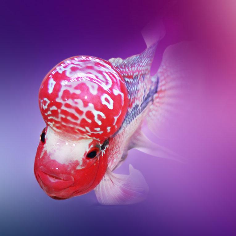 绵阳泰金罗汉鱼