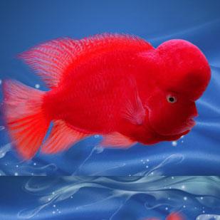 绵阳红马罗汉鱼