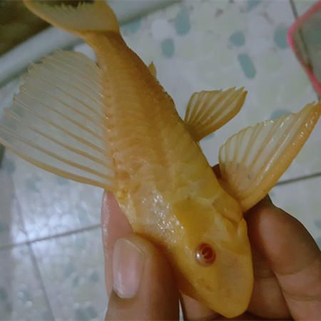 绵阳女王大帆|女皇大帆 混养鱼(绵阳龙鱼配鱼) 绵阳水族批发市场第3张