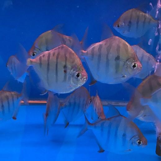绵阳虎纹银版鱼 混养鱼(绵阳龙鱼配鱼)