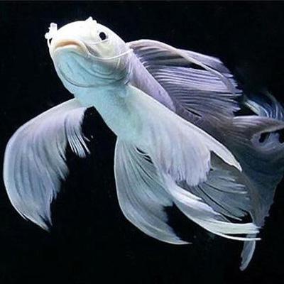 绵阳蝴蝶鲤鱼 混养鱼(绵阳龙鱼配鱼)