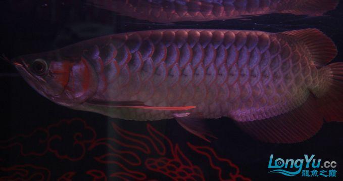 一条优秀的红龙 绵阳龙鱼论坛 绵阳水族批发市场第1张