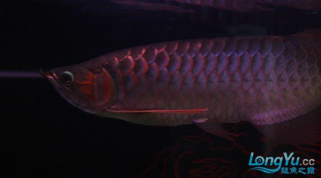 一条优秀的红龙 绵阳龙鱼论坛 绵阳水族批发市场第2张