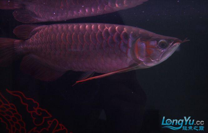 一条优秀的红龙 绵阳龙鱼论坛 绵阳水族批发市场第3张