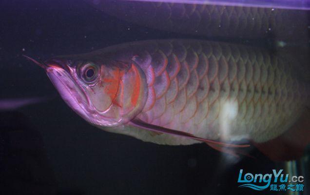 一条优秀的红龙 绵阳龙鱼论坛 绵阳水族批发市场第8张