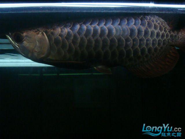 巨献、神龙丁丁培养中的神龙中国一样有极品 绵阳龙鱼论坛 绵阳水族批发市场第10张