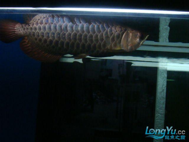 巨献、神龙丁丁培养中的神龙中国一样有极品 绵阳龙鱼论坛 绵阳水族批发市场第11张