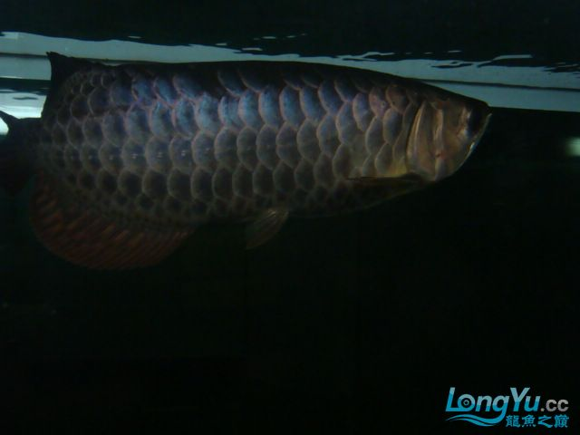 巨献、神龙丁丁培养中的神龙中国一样有极品 绵阳龙鱼论坛 绵阳水族批发市场第13张