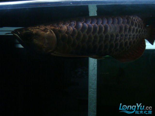 巨献、神龙丁丁培养中的神龙中国一样有极品 绵阳龙鱼论坛 绵阳水族批发市场第15张