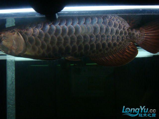 巨献、神龙丁丁培养中的神龙中国一样有极品 绵阳龙鱼论坛 绵阳水族批发市场第16张