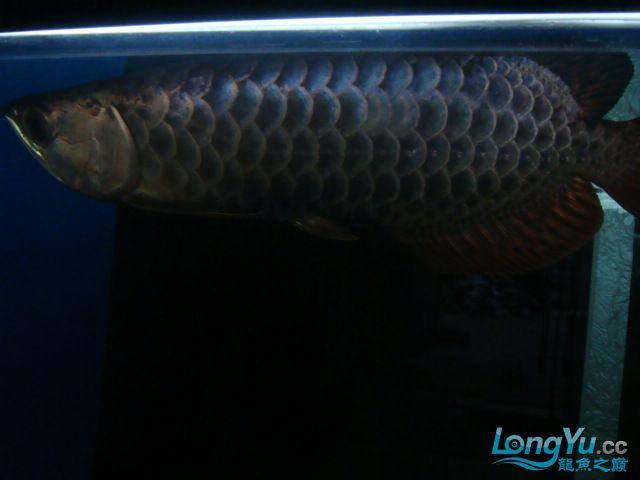巨献、神龙丁丁培养中的神龙中国一样有极品 绵阳龙鱼论坛 绵阳水族批发市场第17张