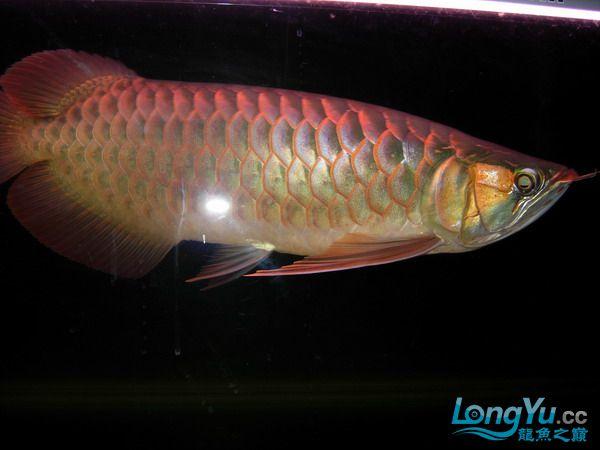 我是新来的 发一下自己的鱼 得瑟一下 绵阳龙鱼论坛 绵阳水族批发市场第2张