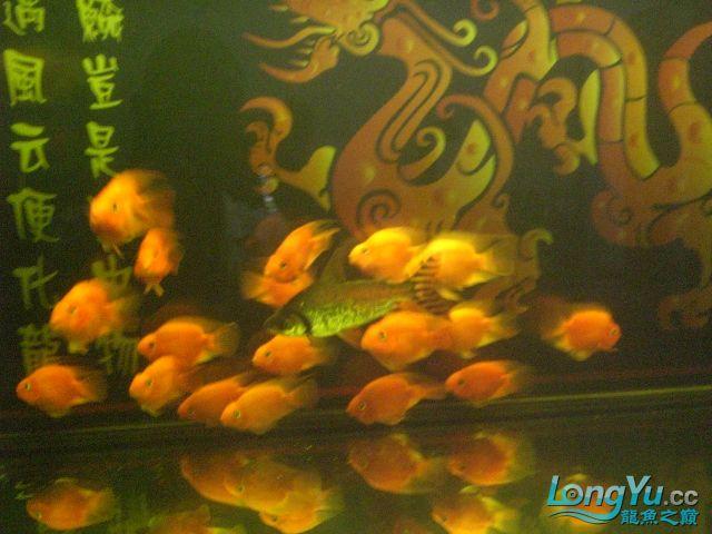 新缸,第6天放了黑水又搞了点鱼闯缸 绵阳龙鱼论坛 绵阳水族批发市场第14张