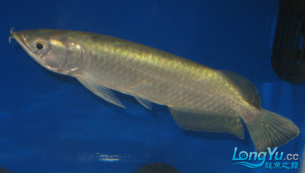 请教看看我的鱼什么病 绵阳龙鱼论坛 绵阳水族批发市场第2张