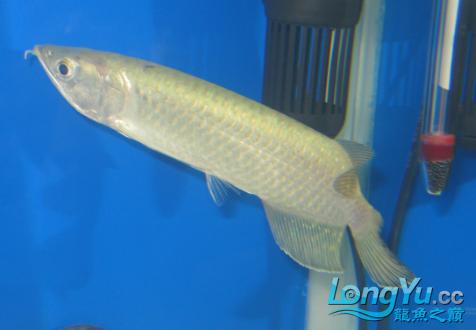 请教看看我的鱼什么病 绵阳龙鱼论坛 绵阳水族批发市场第3张