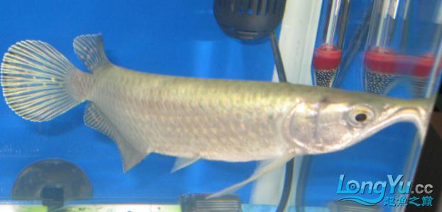 请教看看我的鱼什么病 绵阳龙鱼论坛 绵阳水族批发市场第4张