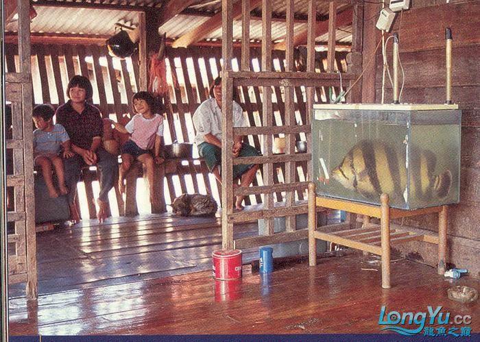 泰国鱼农家抓到的虎!超级大。。。 绵阳龙鱼论坛 绵阳水族批发市场第2张
