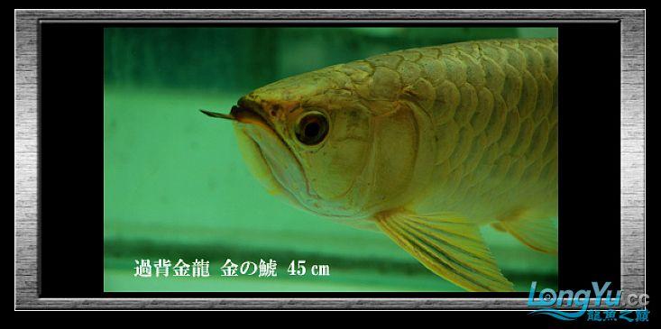 tiger---日本玩家之过背篇(一) 绵阳龙鱼论坛 绵阳水族批发市场第2张