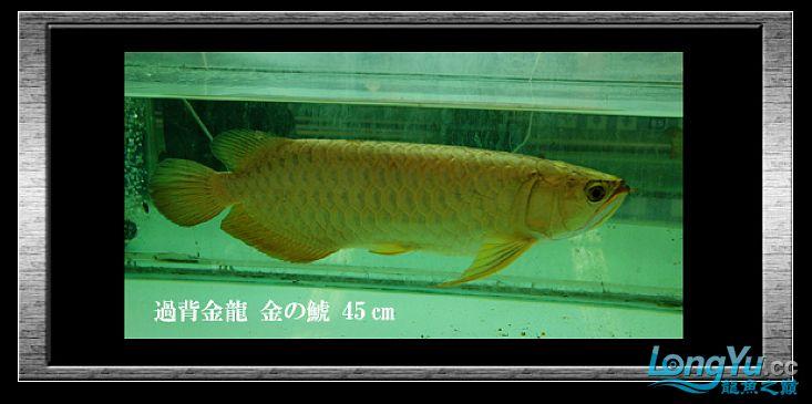 tiger---日本玩家之过背篇(一) 绵阳龙鱼论坛 绵阳水族批发市场第3张
