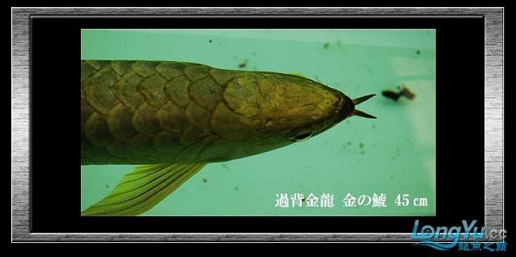 tiger---日本玩家之过背篇(一) 绵阳龙鱼论坛 绵阳水族批发市场第4张