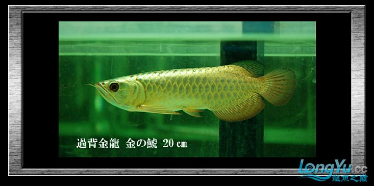 tiger---日本玩家之过背篇(一) 绵阳龙鱼论坛 绵阳水族批发市场第5张