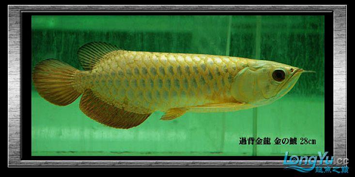 tiger---日本玩家之过背篇(一) 绵阳龙鱼论坛 绵阳水族批发市场第7张