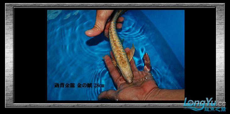 tiger---日本玩家之过背篇(一) 绵阳龙鱼论坛 绵阳水族批发市场第8张
