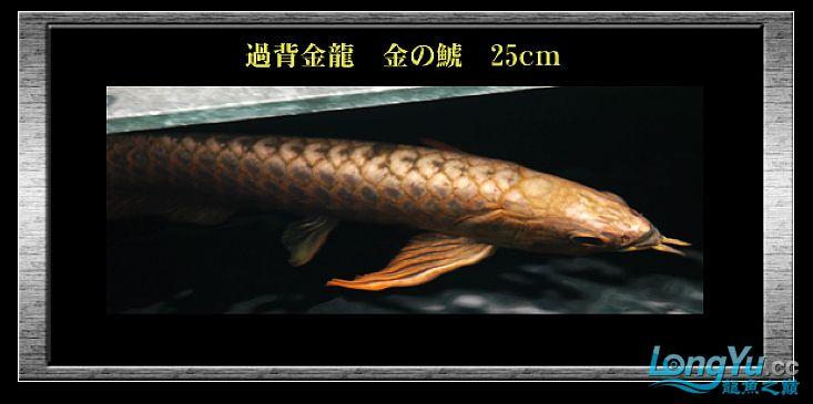 tiger---日本玩家之过背篇(一) 绵阳龙鱼论坛 绵阳水族批发市场第9张