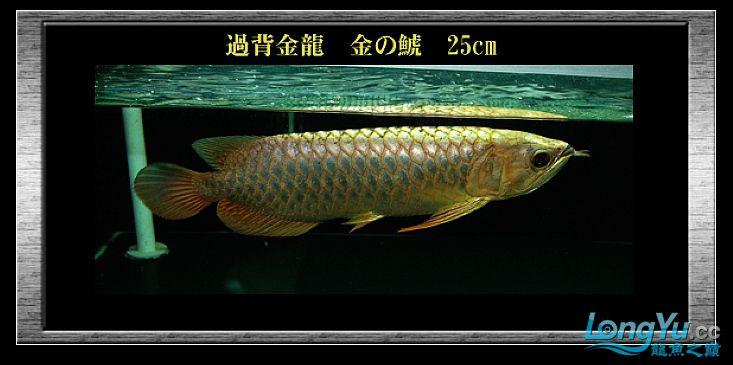 tiger---日本玩家之过背篇(一) 绵阳龙鱼论坛 绵阳水族批发市场第10张