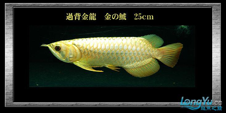 tiger---日本玩家之过背篇(一) 绵阳龙鱼论坛 绵阳水族批发市场第11张