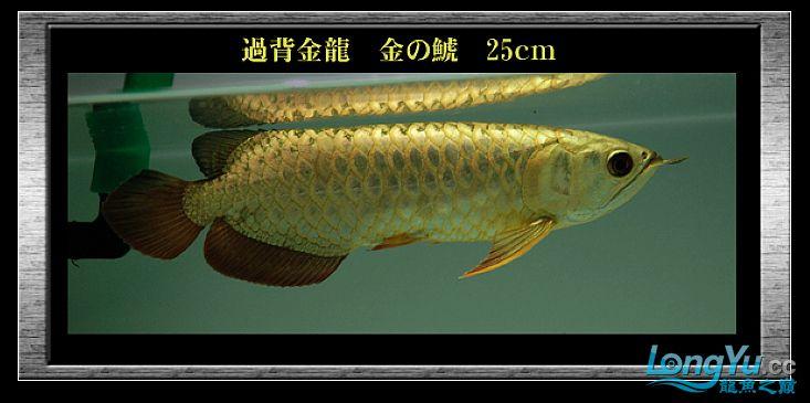 tiger---日本玩家之过背篇(一) 绵阳龙鱼论坛 绵阳水族批发市场第12张