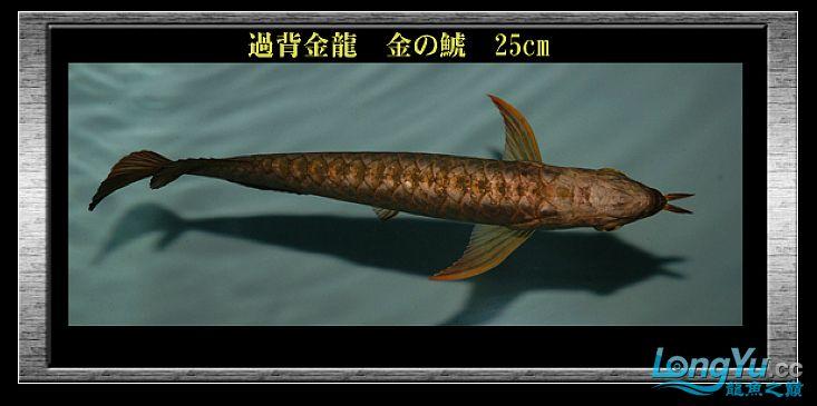 tiger---日本玩家之过背篇(一) 绵阳龙鱼论坛 绵阳水族批发市场第13张