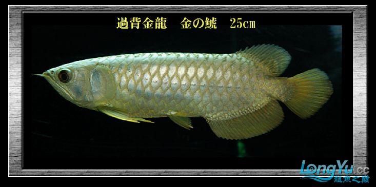 tiger---日本玩家之过背篇(一) 绵阳龙鱼论坛 绵阳水族批发市场第14张