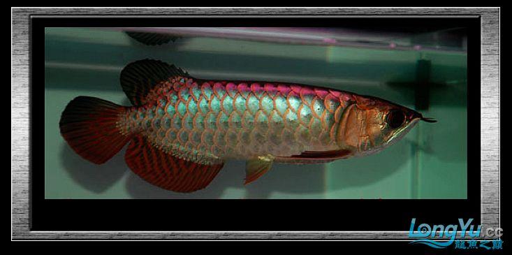 tiger---日本玩家之过背篇(一) 绵阳龙鱼论坛 绵阳水族批发市场第15张