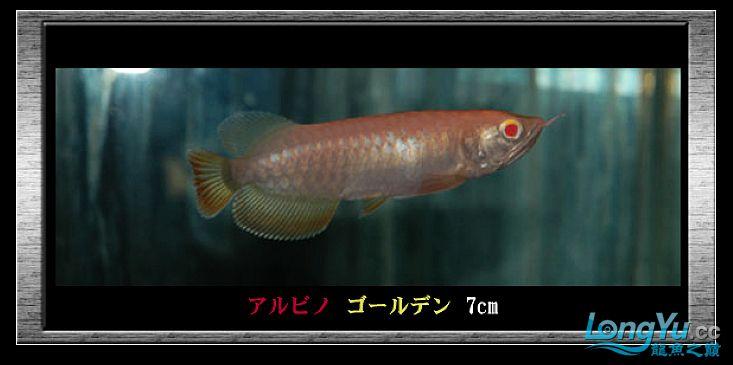 tiger---日本玩家之过背篇(一) 绵阳龙鱼论坛 绵阳水族批发市场第17张