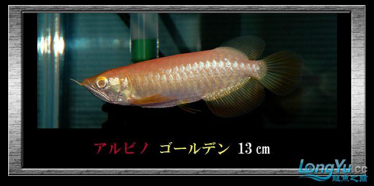 tiger---日本玩家之过背篇(一) 绵阳龙鱼论坛 绵阳水族批发市场第18张