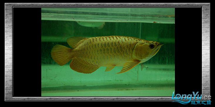tiger---日本玩家之过背篇(一) 绵阳龙鱼论坛 绵阳水族批发市场第19张