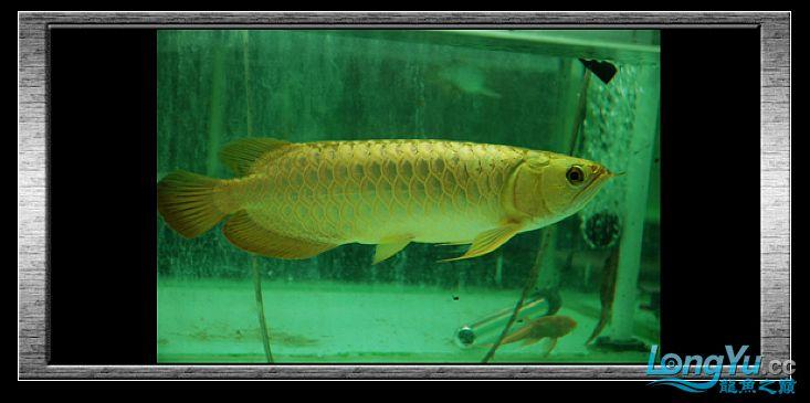 tiger---日本玩家之过背篇(一) 绵阳龙鱼论坛 绵阳水族批发市场第21张