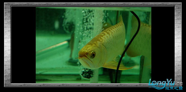 tiger---日本玩家之过背篇(一) 绵阳龙鱼论坛 绵阳水族批发市场第22张