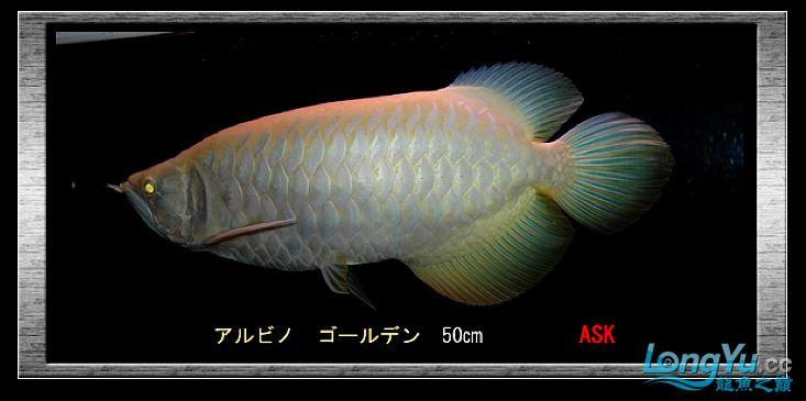 tiger---日本玩家之过背篇(一) 绵阳龙鱼论坛 绵阳水族批发市场第25张